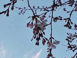 開花予報通り